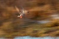 Wilde eend in beweging