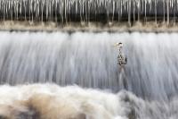 Blauwe reiger in de Carrowbeg rivier