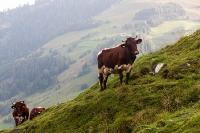 Berg koeien