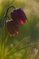 Kievitsbloem rood