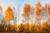 Herfst-reflectie berken