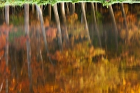 Reflectie Amerikaanse eiken