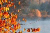 Vogelkers in herfstkleur